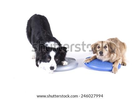 Two dogs rehabilitating on balance balls - stock photo