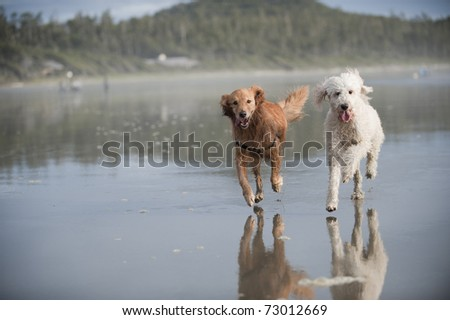 Two dogs run towards camera away from a partially seen woman with a leash on a wet sandy beach. - stock photo