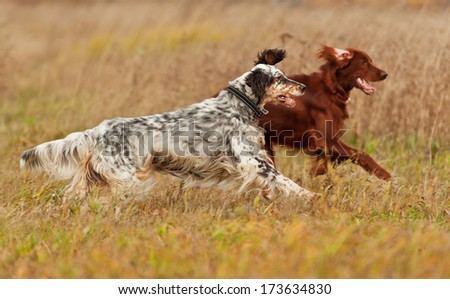 Two dogs runs on a green grass. Shallow DOF, focus on dog. Shooting with panning. - stock photo