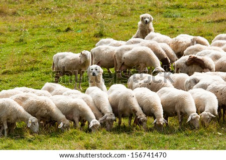 two dogs shepherd guarding a flock of sheep - stock photo