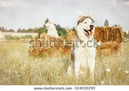 Two dogs sitting near haystacks waiting for his master. Siberian husky on a background of the countryside. - stock photo