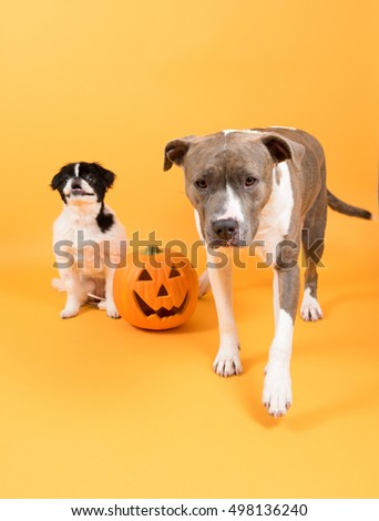 Two Dogs Sitting on Orange Background Next to Pumpkin to Celebrate Halloween