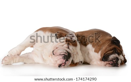 two dogs spooning - english bulldog male and female laying down hugging each other isolated on white background - stock photo