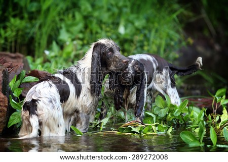 Two dogs stand in water