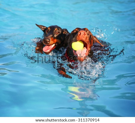 two dogs swimming at a local public pool - stock photo