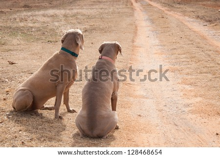 Two dogs waiting by a driveway for someone to come home; looking up the road, missing their people - stock photo