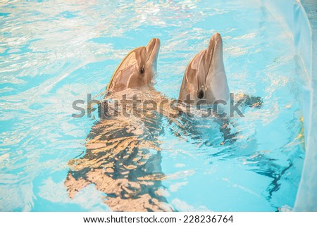 Two dolphin pokes head out of water in basin of oceanarium. - stock photo