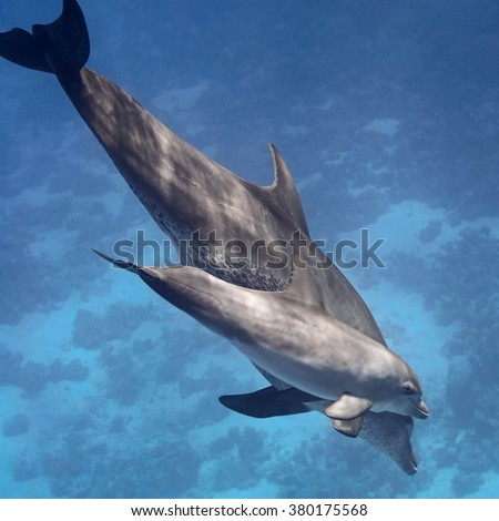 Two dolphins (baby and mother) swimming in water of the blue tropical ocean - stock photo