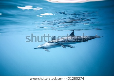 Two dolphins swim near the ocean surface. Photo underwater - stock photo