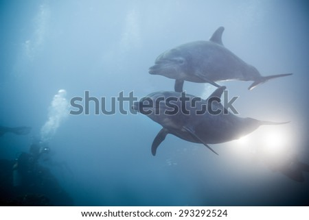 Two dolphins swimming together view under water