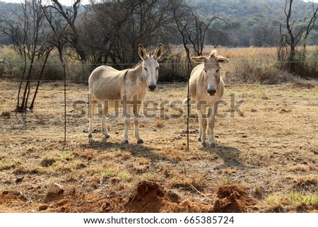 Two donkeys behind barbed wire.