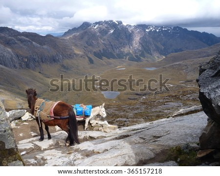 two donkeys carrying luggage of trekkers