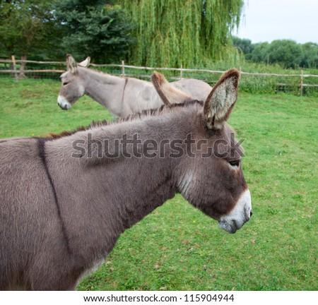 Two donkeys in farm - stock photo