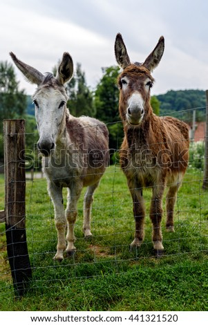 Two donkeys looking curiously into the camera