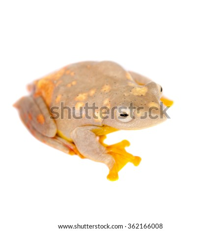 Two-dotted flying tree frog, Rhacophorus rhodopus, isolated on white background