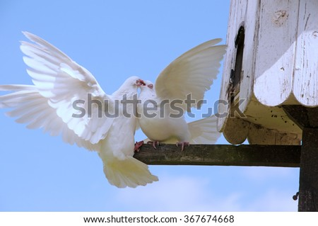 Two doves fighting on a perch - stock photo