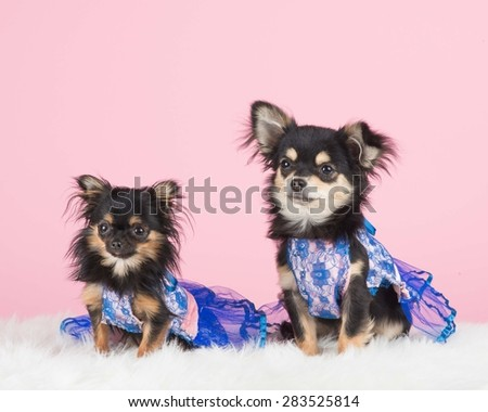 Two dressed chihuahua's at a pink background - stock photo