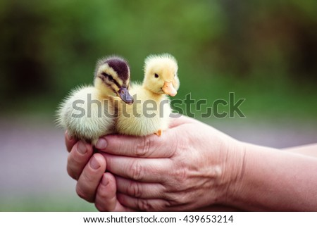 Two duckling in a man's hand. He holds two beautiful duckling in his hands. - stock photo