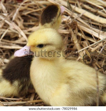 Two ducklings on hay