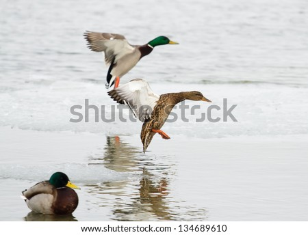 Two ducks about to land, right one in focus