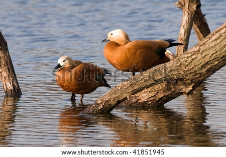 two ducks are staying  on log in water - stock photo