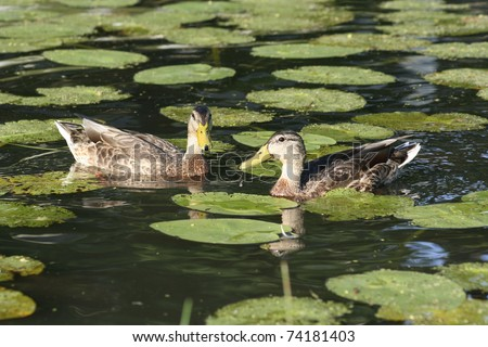 Two ducks floating in pond with lily pads - stock photo