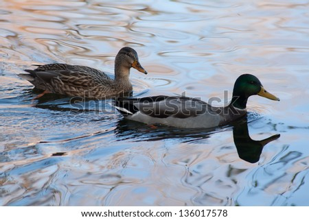 Two ducks swimming on a pond - stock photo