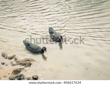 Two ducks under the rain on the lake. Asia Minor