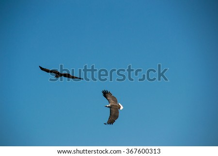Two Eagles flying in sky