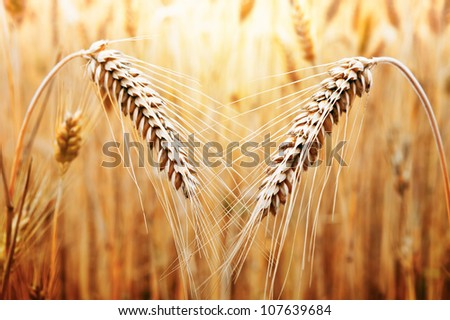 Two ears of golden wheat on the background of wheat field - stock photo
