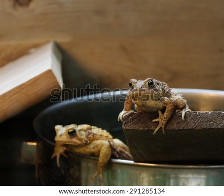 Two Eastern American Toads resting in a terrarium. - stock photo