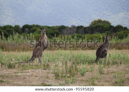 Two Eastern Grey Gray Kangaroo Macropus giganteus - stock photo