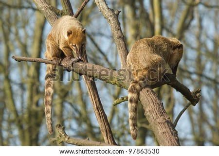 Two eating coatimundis in a tree (Holland) - stock photo