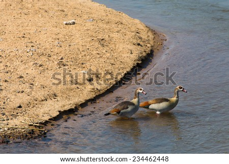 Two Egyptian geese, Alopochen aegyptiacus, wading into the Sabi River in the Kruger National Park, South Africa. - stock photo