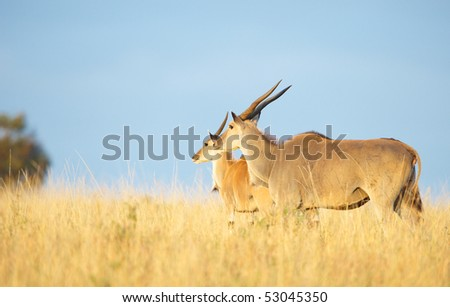 Two Eland (Taurotragus oryx), worlds largest antelope, standing in savannah in the nature reserve in South Africa
