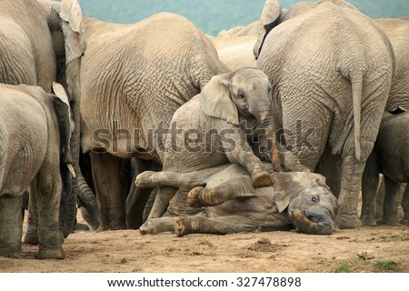 Two elephant babies playing together with a group of Adult Elephants in the background. - stock photo