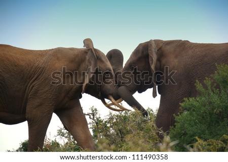 two elephant bulls locked in combat - stock photo