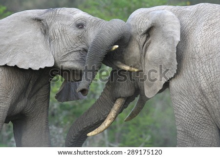 Two elephant bulls trunk wrestle and fight for hierarchy within the elephant herd. South Africa  - stock photo