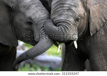 Two elephant bulls trunk wrestle and fight for hierarchy within the elephant herd. South Africa