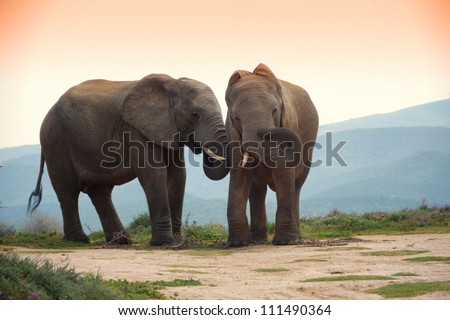 two elephants - stock photo