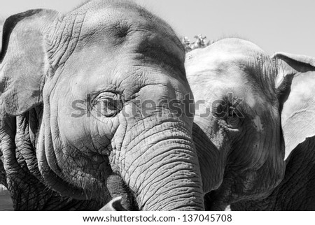 Two elephants being affectionate - stock photo