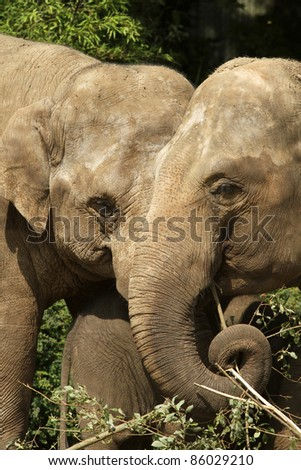 Two elephants eating (focus on the right one)