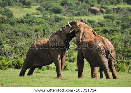 Two Elephants fighting in the Addo Elephant National Park, South Africa - stock photo