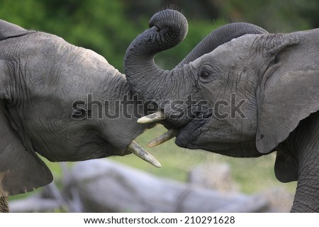 Two elephants interacting and trunk wrestling. - stock photo