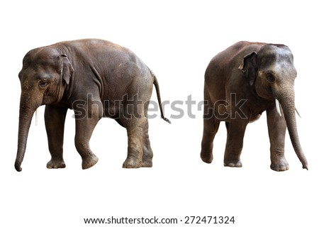 two elephants isolated on white background with clipping path - stock photo
