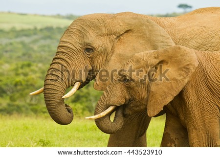 Two elephants standing and drinking in the hot summers sun - stock photo