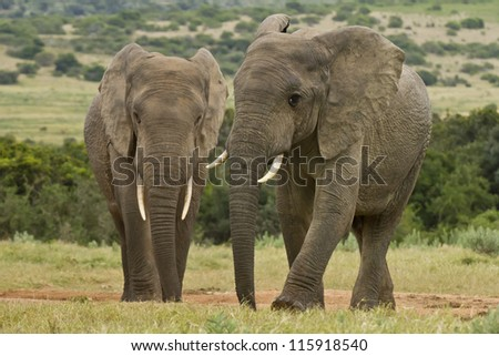 two elephants standing at a water hole surrounded by grass - stock photo