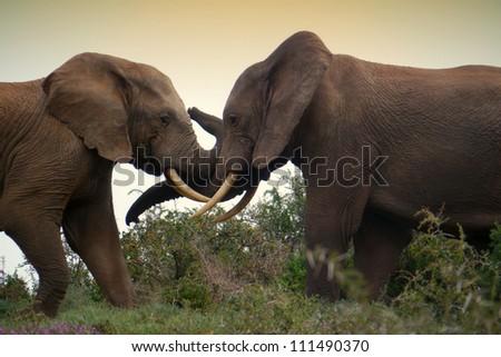 two elephants wrap trunks - stock photo