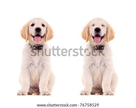 two emotional poses of a cute panting golden retriever puppy