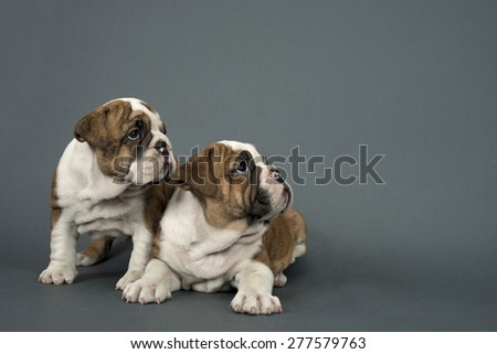 Two English Bulldog dogs over gray background looking  right - text space to the right .